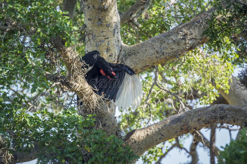 Southern Ground Hornbill in Kruger National park, South Africa. Southern Ground Hornbill grooming in a tree in Kruger National park, South Africa ; Specie stock image