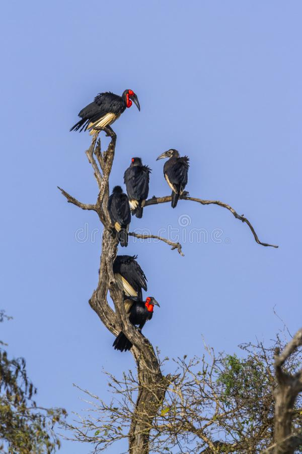 Southern Ground Hornbill in Kruger National park, South Africa. Specie Bucorvus leadbeateri family of Bucerotidae stock images