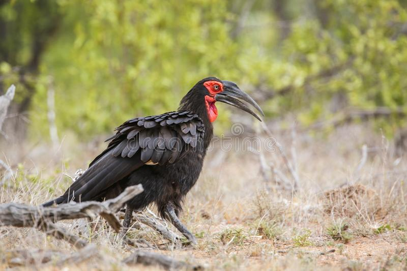 Southern Ground Hornbill in Kruger National park, South Africa. Southern Ground Hornbill walking in savannah in Kruger National park, South Africa ; Specie stock images