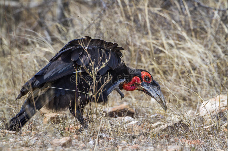 Southern Ground-Hornbill in Kruger National park, South Africa. Specie Bucorvus leadbeateri family of Bucerotidae, Southern Ground-Hornbill in Kruger National stock image