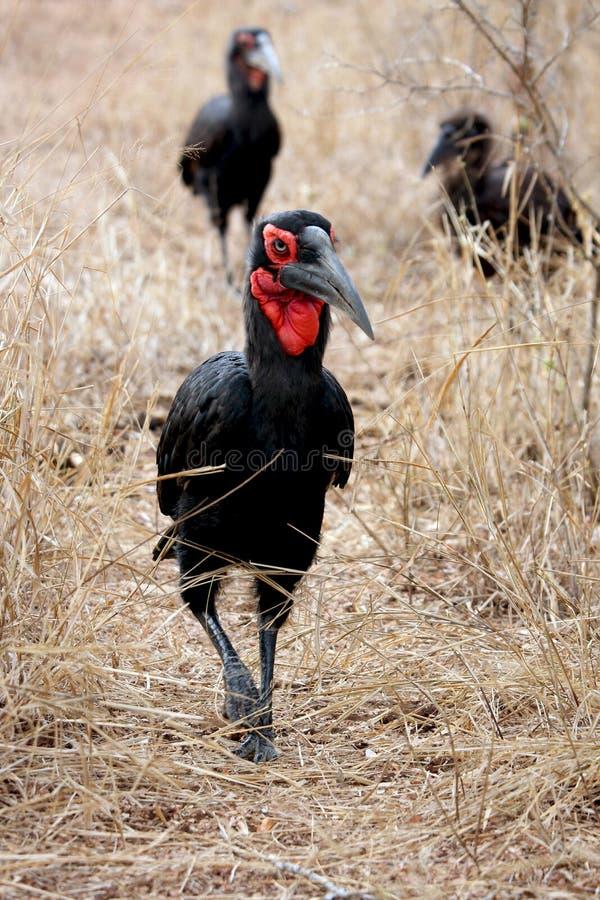 Southern ground-hornbill royalty free stock photos