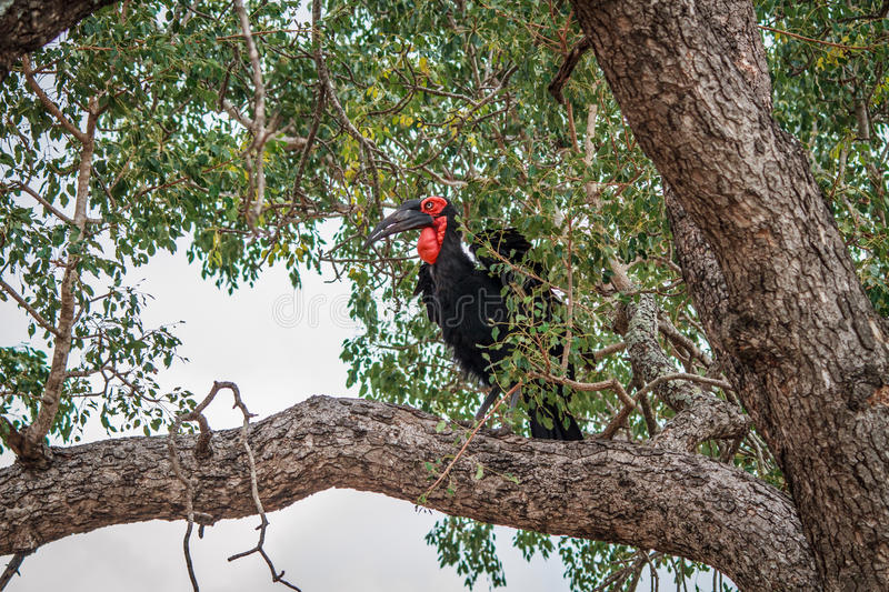 Download Southern Ground Hornbill In A Tree. Stock Image - Image: 83720031