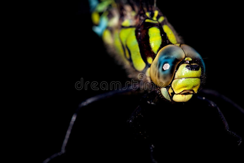 Download Southern Hawker stock photo. Image of black, wing, nature - 10761224
