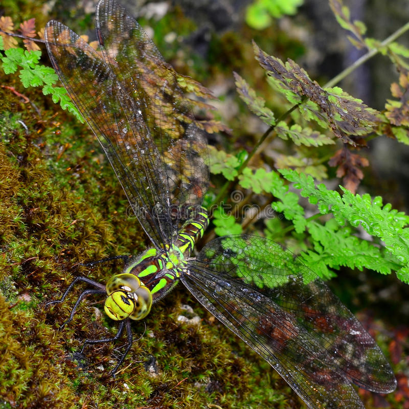 Free Southern Hawker Stock Photography - 44003922