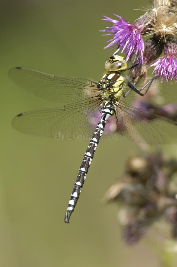 Southern Hawker Dragonfly - Aeshna Cyanea Stock Photo