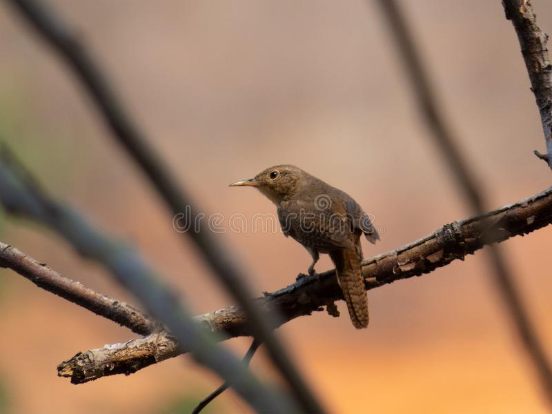 Southern House Wren Troglodytes musculus isolated on tree branch in extension of Brazil`s Atlantic Forest. Brazilian fauna bird stock images