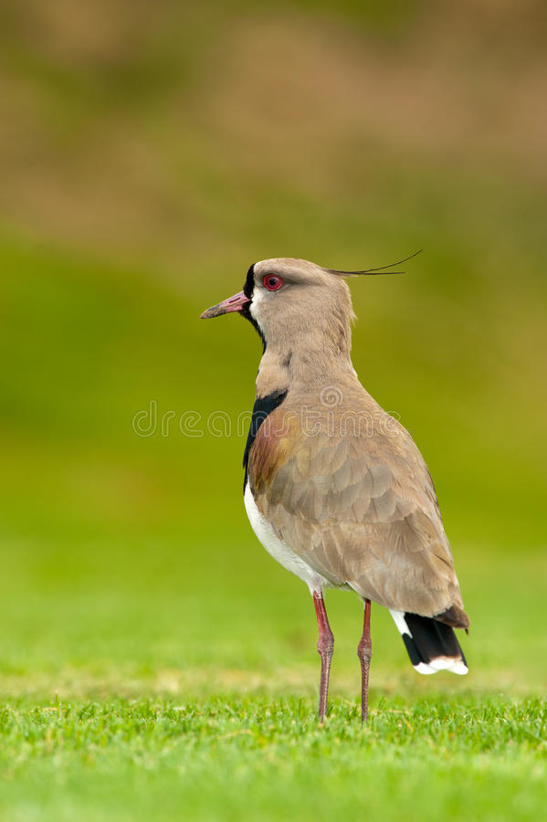 Southern Lapwing in a field royalty free stock photos