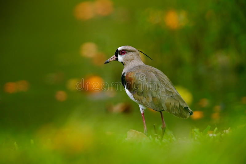 Southern Lapwing, Vanellus chilensis, water exotic bird during sunrise, in the nature habitat, Pantanal, Brazil. Animal in the royalty free stock photography