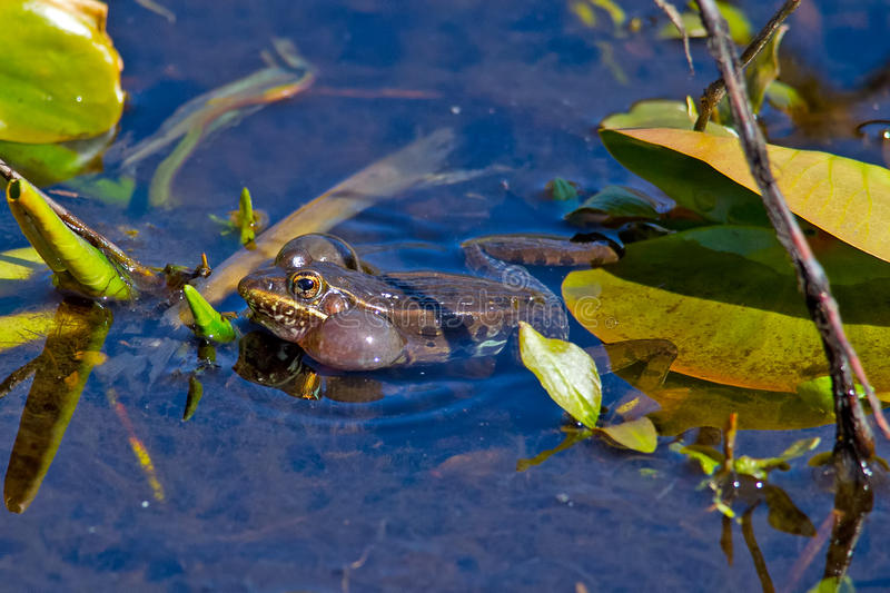 Southern Leopard Frog. Doing mating calls in the swamp stock photography