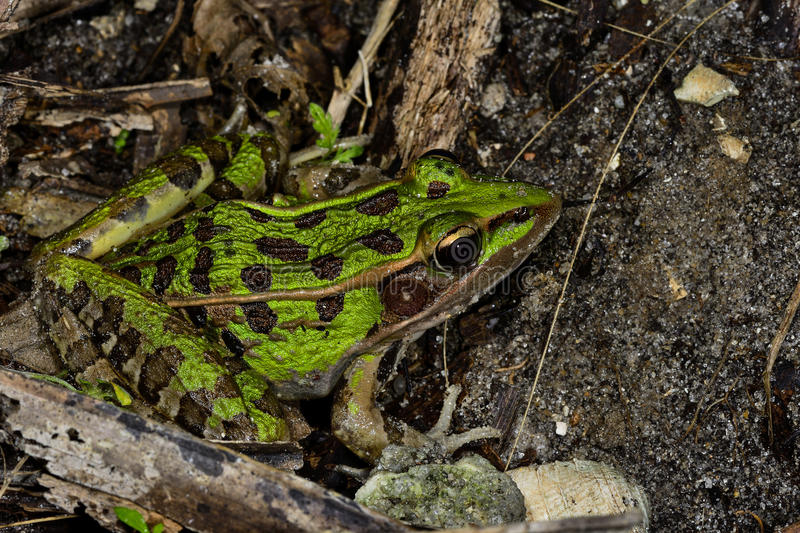 Southern leopard frog. Hiding on the ground stock images