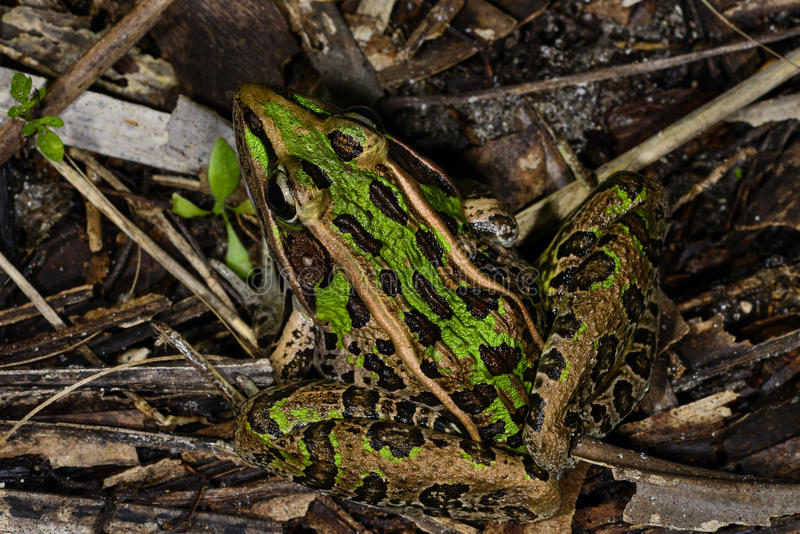 Southern leopard frog. Hiding on the ground stock photography