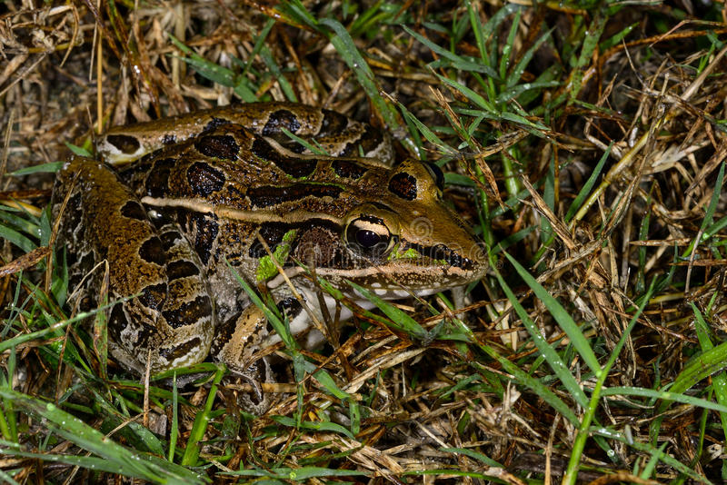Southern leopard frog. Hiding on the ground royalty free stock photo