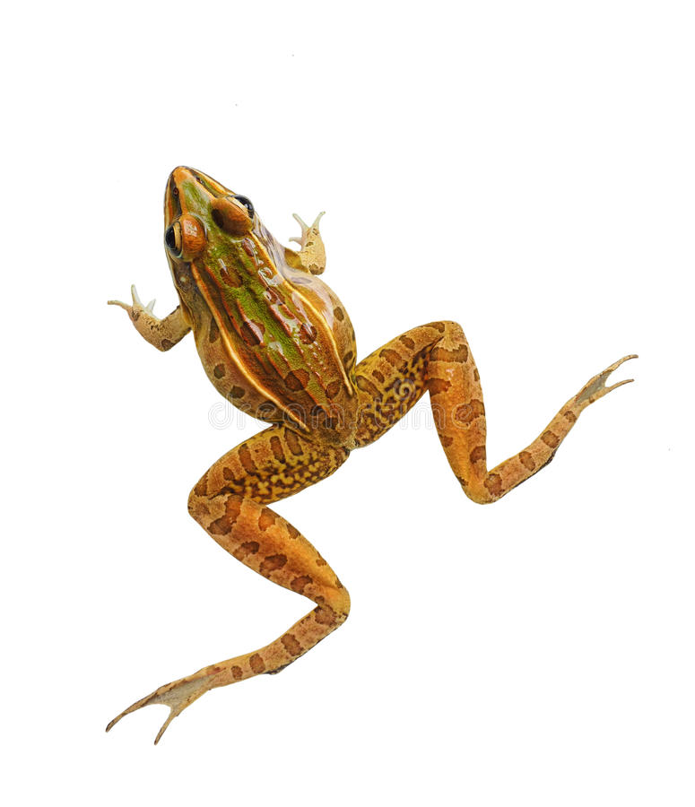 Southern Leopard Frog Isolated on White. Male Southern Leopard Frog Isolated on White royalty free stock photo