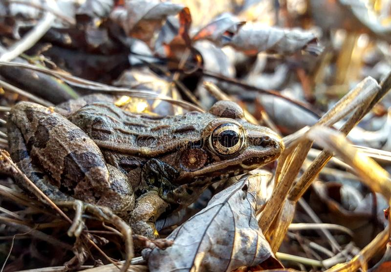 Southern Leopard Frog. A Southern Leopard Frog overlooking a lake stock images
