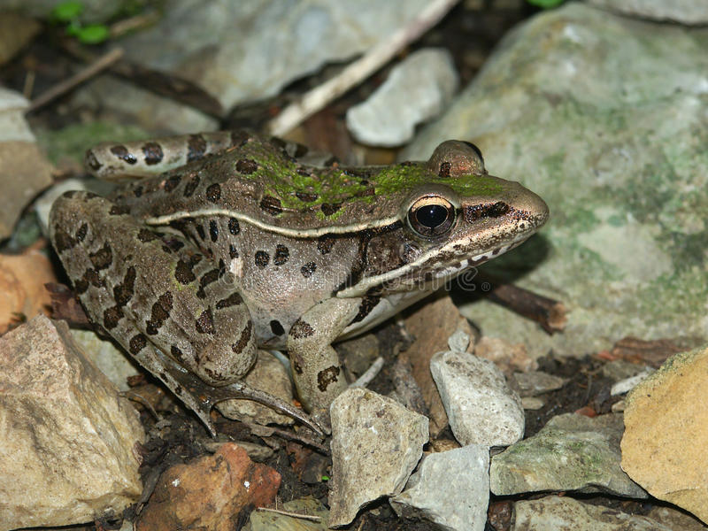 Southern Leopard Frog (Rana sphenocephala). In the Shawnee National Forest of southern Illinois stock photography
