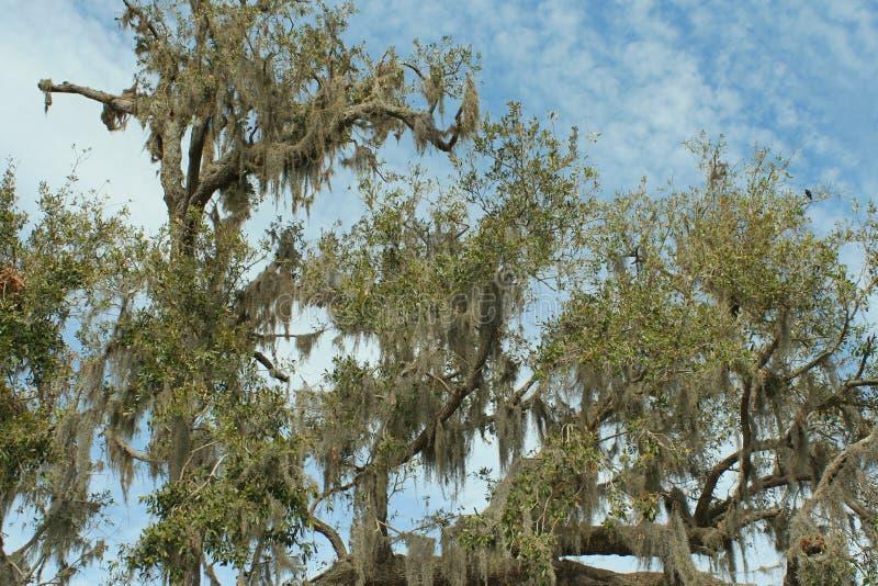 Southern live oak stock photography