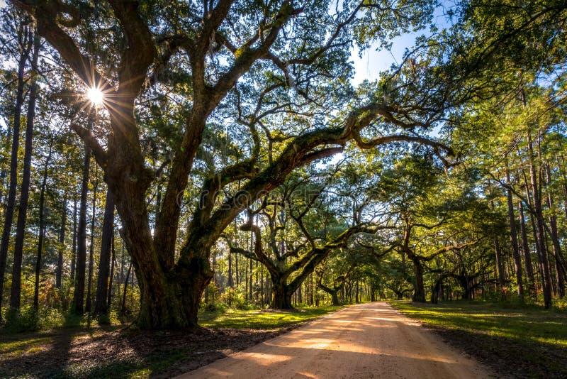 Southern live oak 3 stock photo