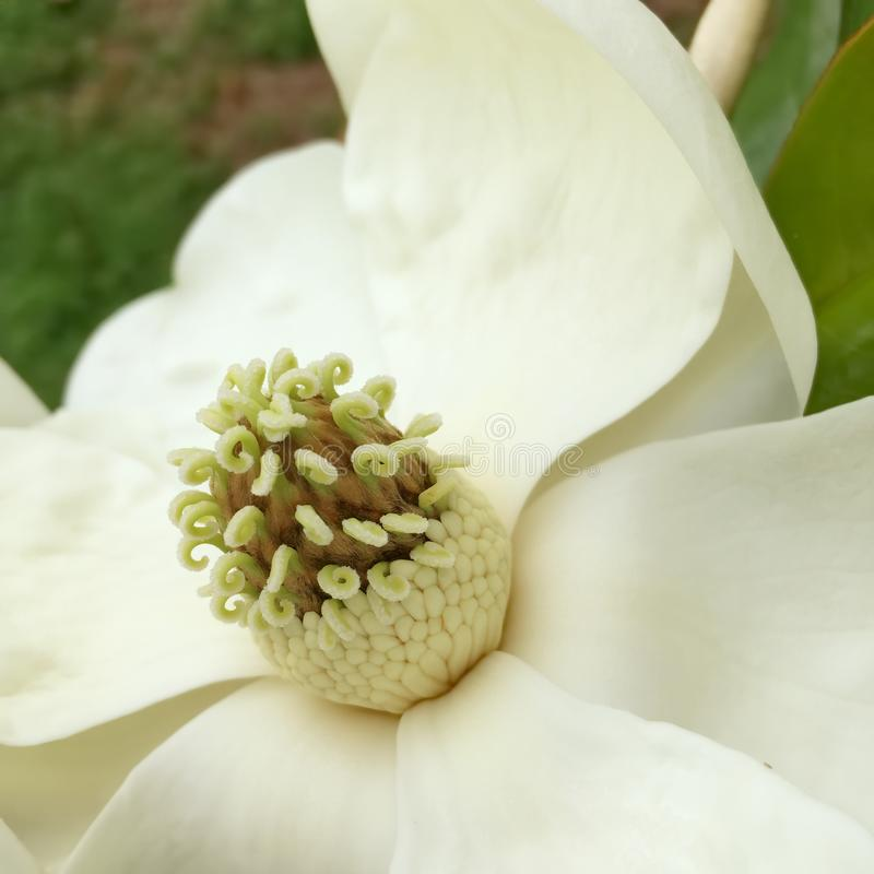 Southern Magnolia Flower in Bloom. A southern magnolia tree with a close up of a flower in bloom. The cone like cluster shows the carpels and their unique curls stock photos