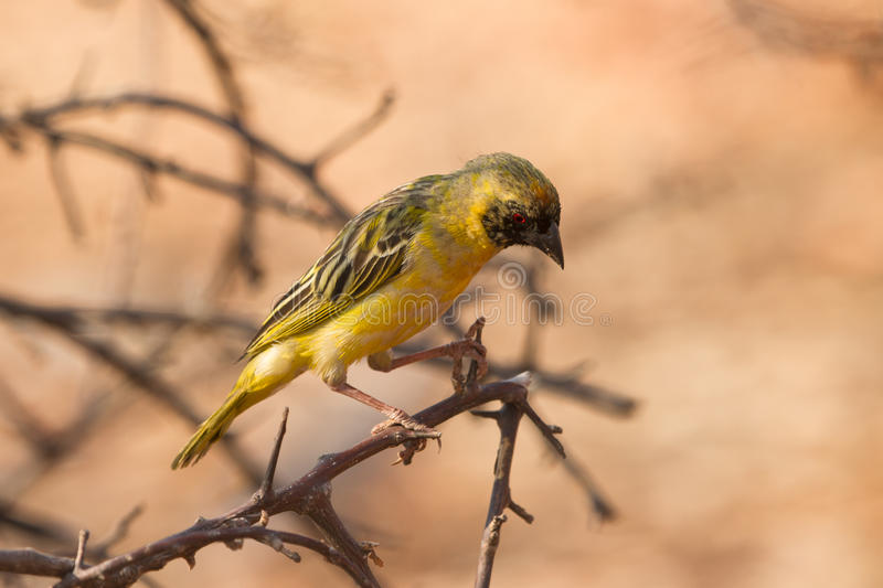 Southern Masked Weaver. Safari Etosha, Namibia Africa royalty free stock photo