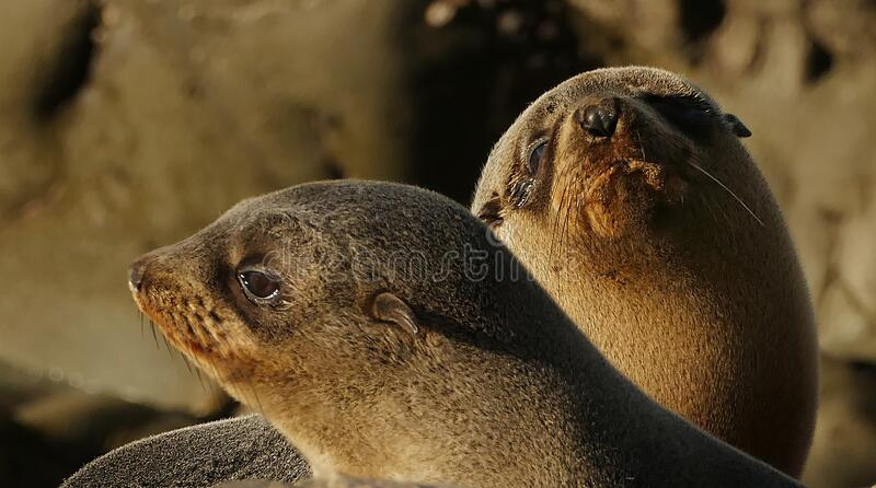 Southern NZ Fur seal pups. stock images