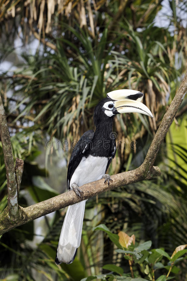 Southern pied-hornbill or Asian Pied-hornbill, Anthracoceros albirostris. Single bird on branch, Indonesia, March 2011 stock images