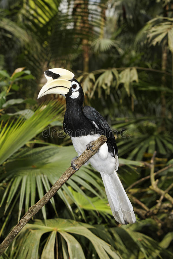 Southern pied-hornbill or Asian Pied-hornbill, Anthracoceros albirostris. Single bird on branch, Indonesia, March 2011 royalty free stock photo
