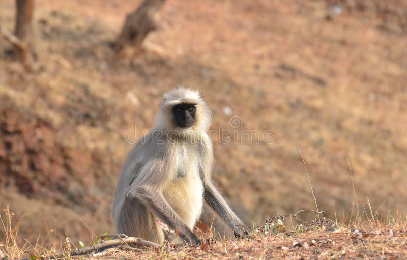 Southern plains gray langur /Common Langur /Indian. Grey Langur(semnopithecus dussumieri) is a species of Monkey found in most parts of Central, Western and royalty free stock photo