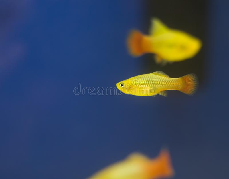 Southern platyfish, colorful aquarium fishes. The southern platy royalty free stock photography