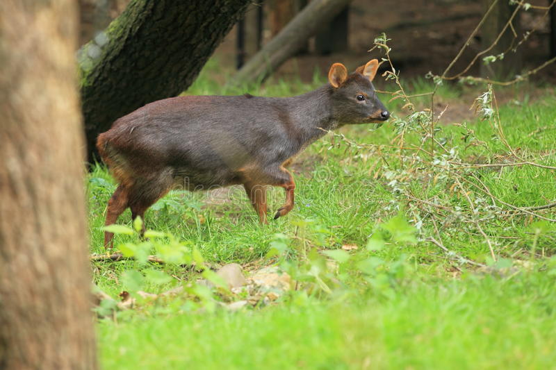 Southern pudu. The adult southern pudu in the grass stock image