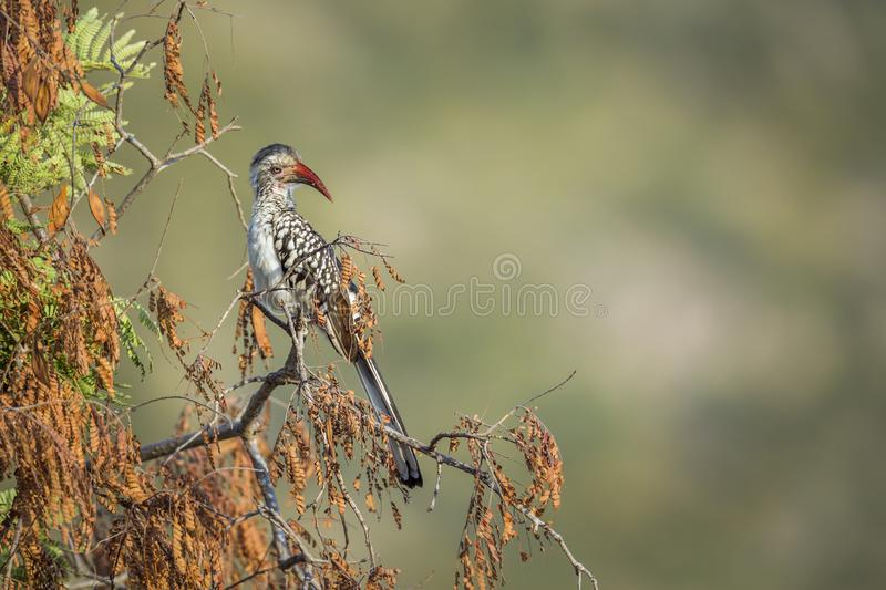 Southern red billed Hornbill in Kruger National park, South Africa. Southern Red billed Hornbill isolated in natural background in Kruger National park, South stock photo