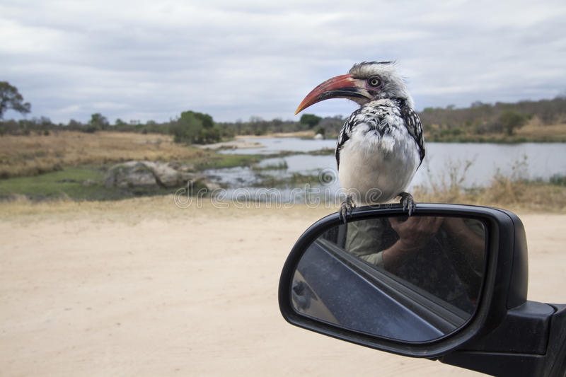 Southern Red-billed Hornbill in Kruger National park. Specie Tockus rufirostris family of Bucerotidae, Southern Red-billed Hornbill in Kruger National park royalty free stock photos