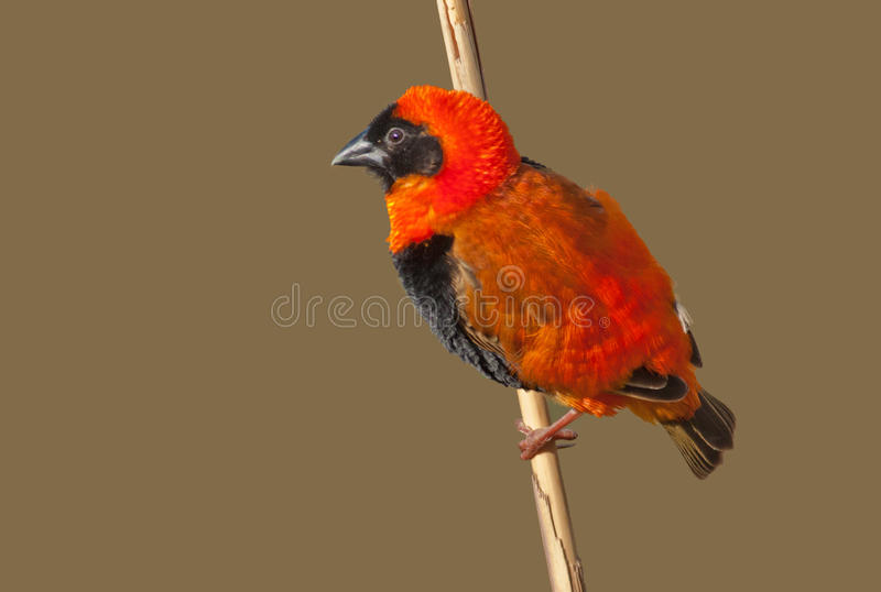 Download Southern Red Bishop stock image. Image of small, cape - 21089603