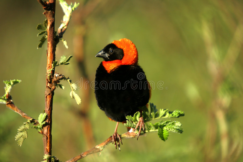 Download Southern red bishop stock photo. Image of colour, bishop - 2667800