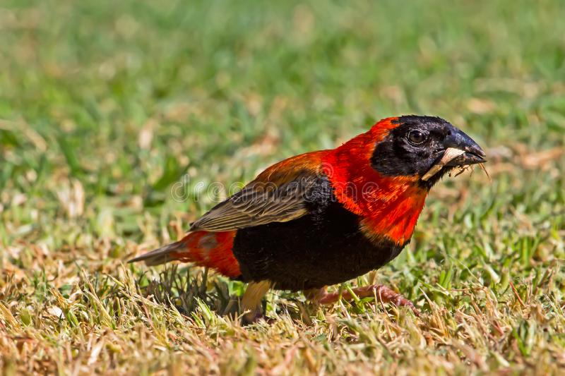 Southern Red Bishop bird in breeding plumage. Feeding on grass in Northern Cape, South Africa stock image