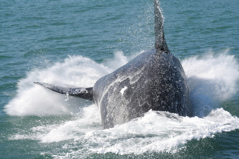 Southern right whale breaching royalty free stock photography