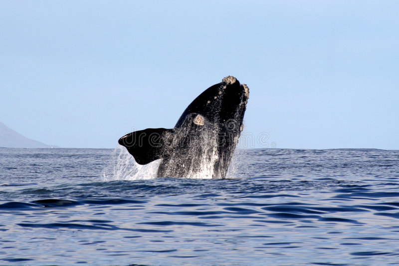 Southern Right Whale Breaching 2/4 stock photos