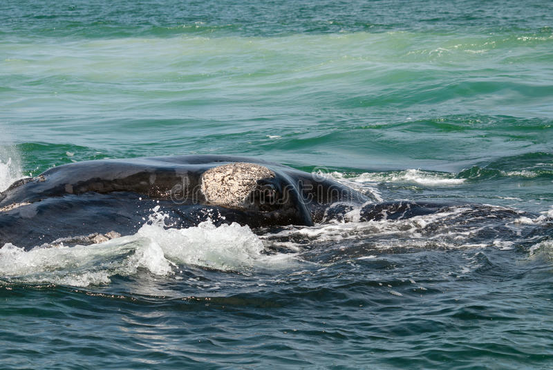 Download Southern right whale eye stock image. Image of spyhopping - 29409957