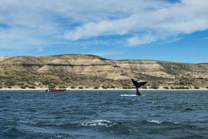 Southern Right Whale flipping its tale in the Valdes Peninsula in Argentina. Concept for travel in Argentina and Whale Watching royalty free stock photography