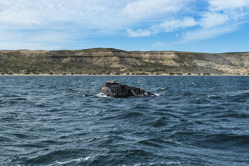 A Southern Right Whale at the Peninsula Valdes in Argentina. South America royalty free stock photo