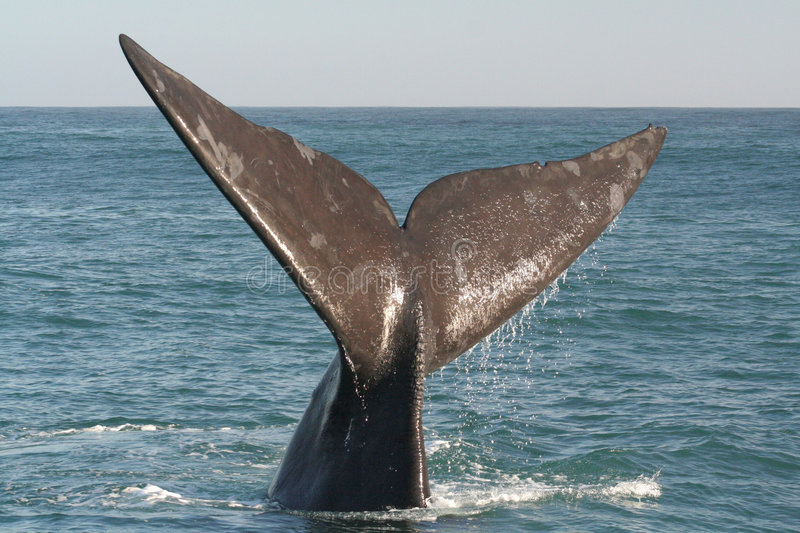 Southern right whale tail royalty free stock image