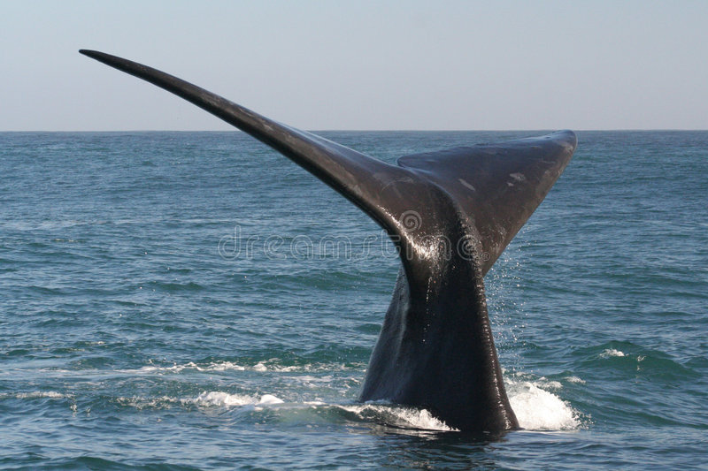 Southern right whale tail stock photography