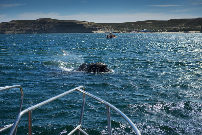 Southern Right Whale in the Valdes Peninsula in Argentina. Concept for travel in Argentina and Whale Watching stock image