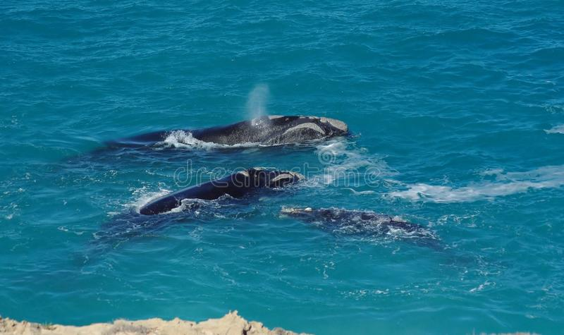 Southern right whales royalty free stock photo