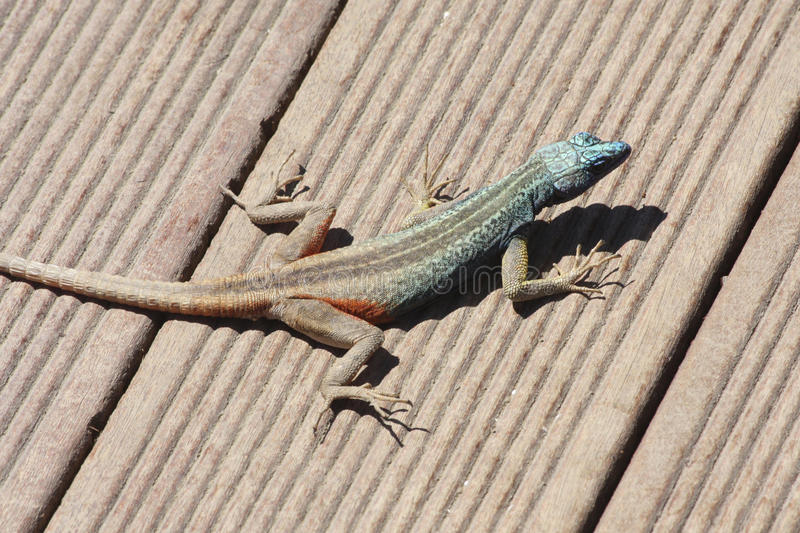 Southern rock agama stock images