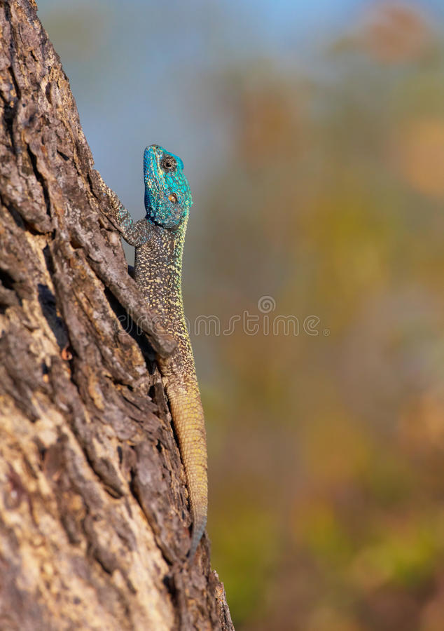 Southern Rock Agama (Agama atra) royalty free stock photography