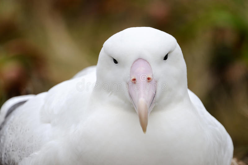 Download Southern Royal Albatross stock image. Image of nature - 28600177