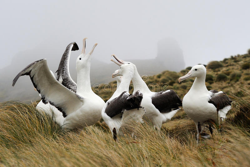 Southern Royal Albatross (Diomedea epomophora )