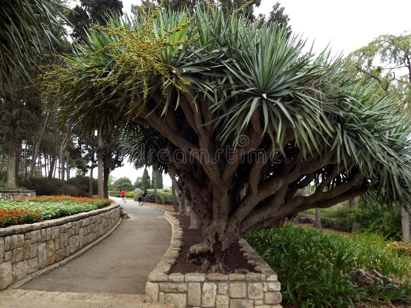 On the southern slope of the famous biblical mountain Carmel is Rothschild Park. This is a magnificent botanical park stock images