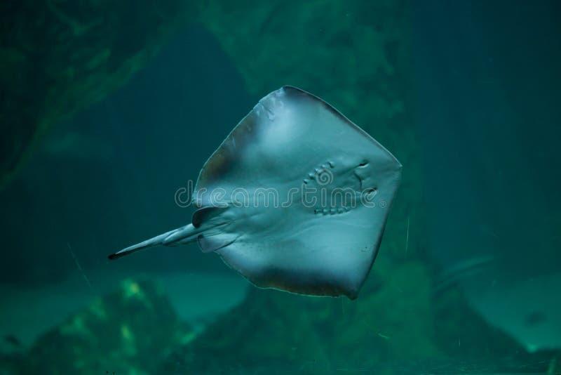 Southern stingray Dasyatis americana. Marine fish stock photos