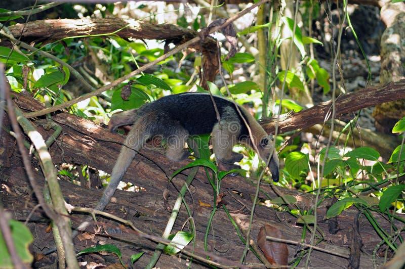 Southern tamandua (Tamandua tetradactyla). Shot in natural habitat (Osa peninsula, Costa Rica stock images